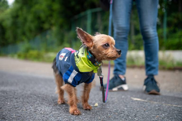 Yorkshire Terrier de 9 anos com lenço usado pelos cães da Patrulha Wan Wan; cerca de 150 animais e seus donos formam grupo para monitorar crianças e vigiar ruas em bairro de Tóquio