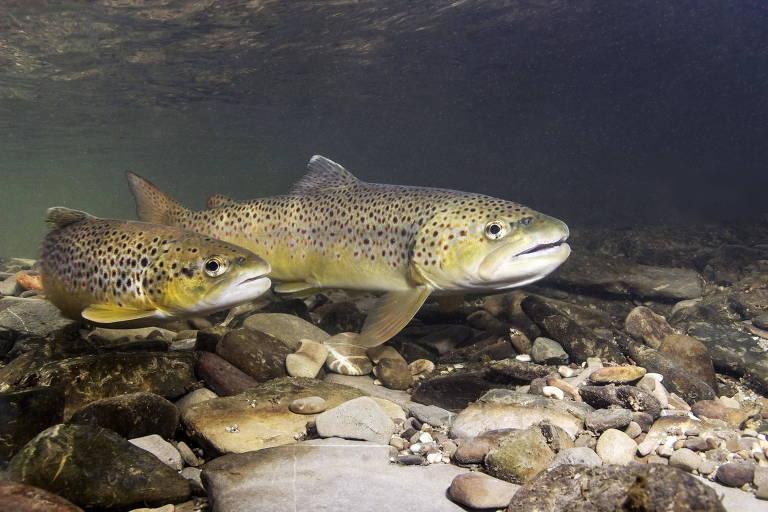 Peixes da espécie Salmo Trutta em nadam em rio