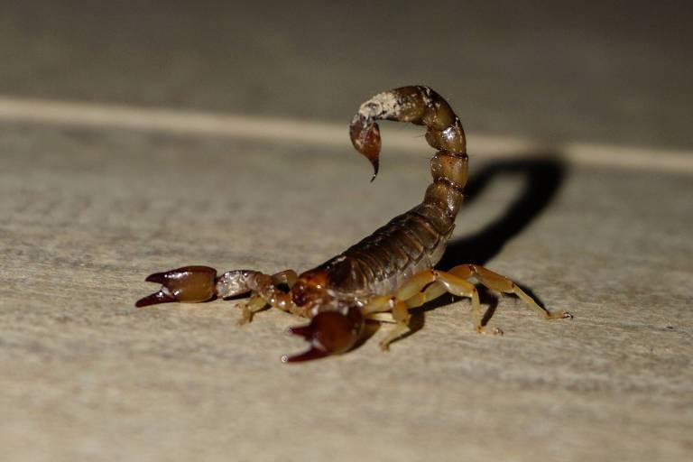 Como se proteger de uma picada de escorpião