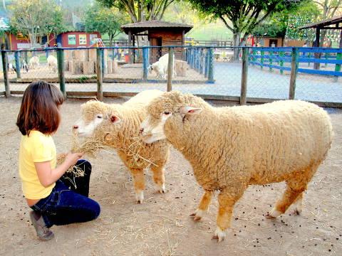 Crianças alimentam ovelhas na Fazendinha Cia dos Bichos