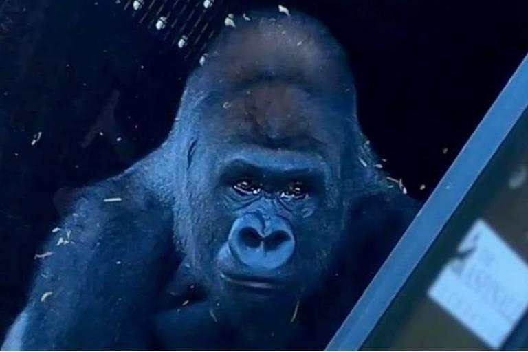Gorila criado em zoológico, Joshi conhece a vida na natureza após 13 anos