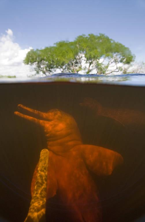Meia imagem mostra boto submerso e, na outra metade, ao fundo, é possível ver árvores