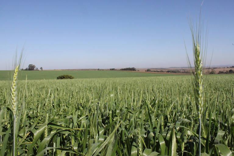 Plantação de trigo ainda verde