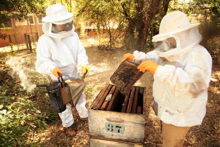 Apicultores manuseiam colmeias e despejam insetos que estão no quadro de cria em uma caixa