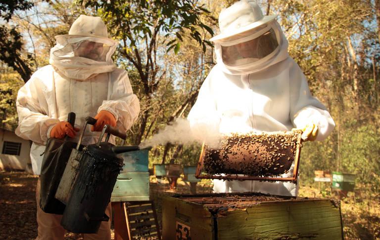 Apicultor borrifa fumegador em abelhas para acalmá-las