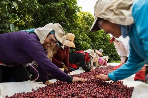 Na fazenda da família Rodrigues, somente mulheres trabalham na colheita do café especial, 'por serem mais caprichosas', segundo o proprietário