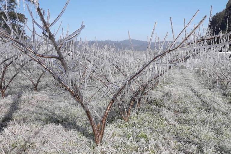 Sistema que cria gelo em planta, uso de lona e saco plástico; veja as armas dos produtores contra a geada