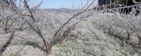 Sistema de irrigação por aspersão no cultivo de pêssego, na cidade de Videira (SC), na semana passada ( Foto: Divulgação/Epagri )