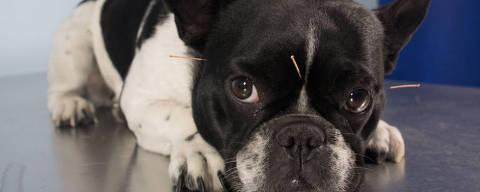 Cachorro em tratamento de acupuntura