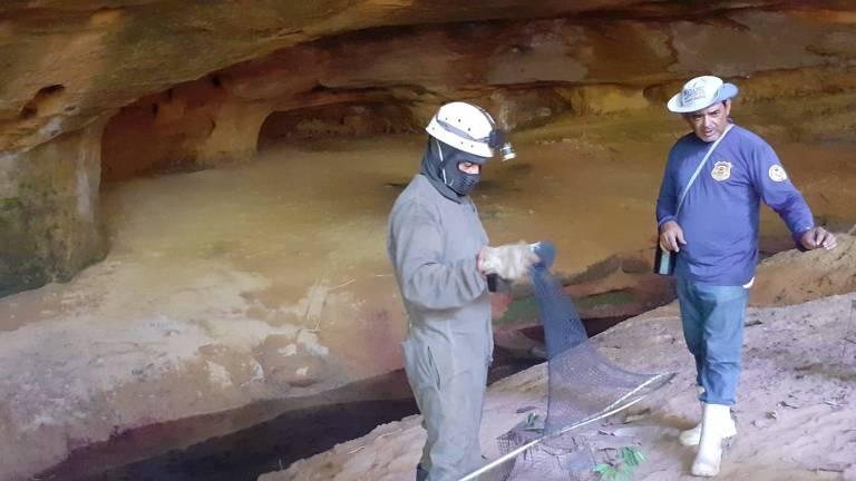Técnicos da Agência de Defesa Agropecuária de Tocantins capturam morcego-vampiro em caverna no município de Goiatins