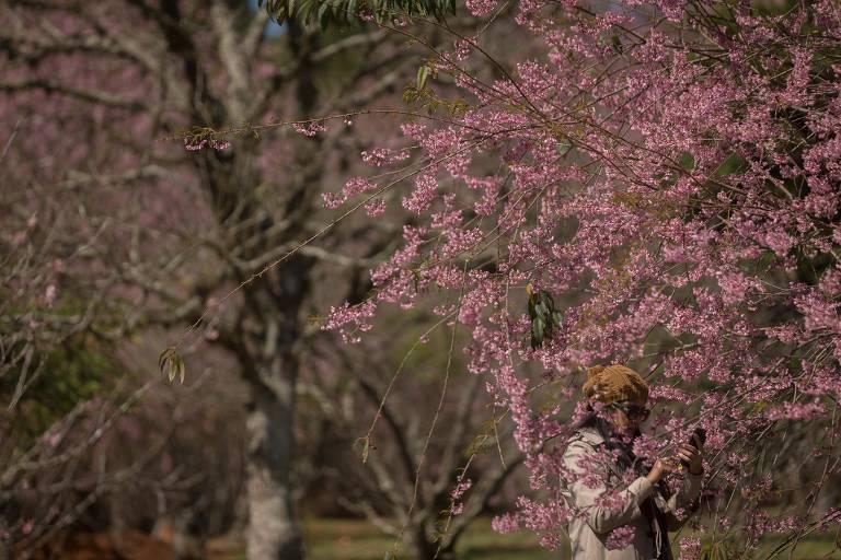 Floração das cerejeiras começou no parque do Carmo, em Itaquera