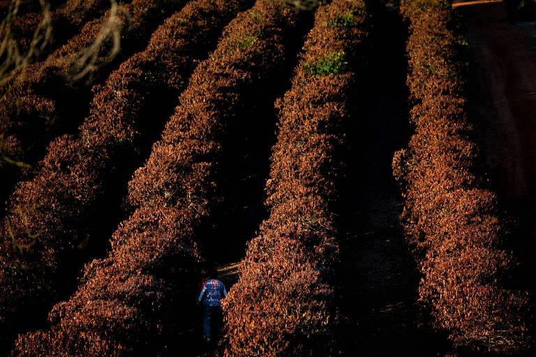 Geada volta a ameaçar plantações de café em Minas Gerais e São Paulo