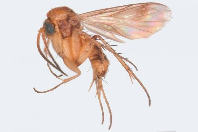Exemplar da espécie Acrodicrania fasciata