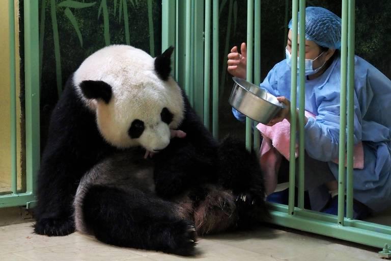 Panda segura um dos filhotes, pequeno e rosa, com a boca