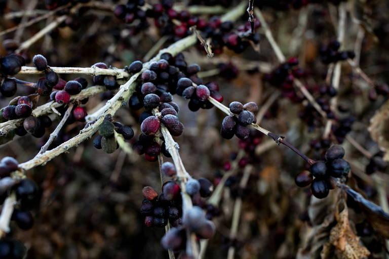 Ramo de pé de café, com frutos enegrecidos