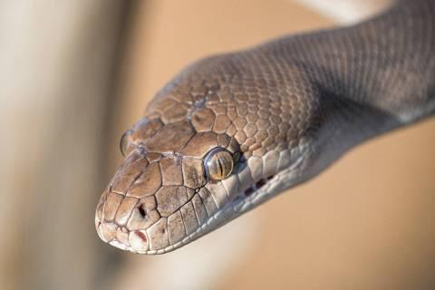 Como é produzido o soro para veneno de cobra?