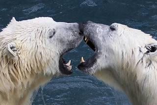 Polar bears playfully fight at the St-Felicien Wildlife Zoo in St-Felicien