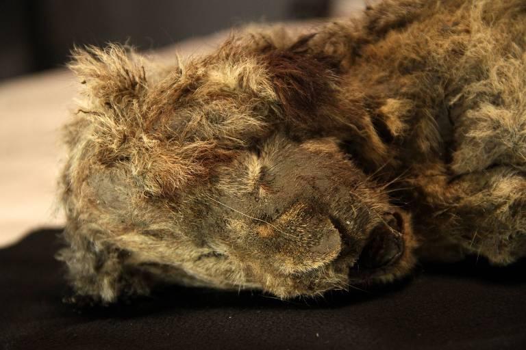 Múmia de leão extinto