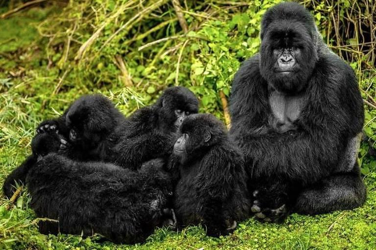 Gorilas machos costumam ser 'babás' dos filhotes