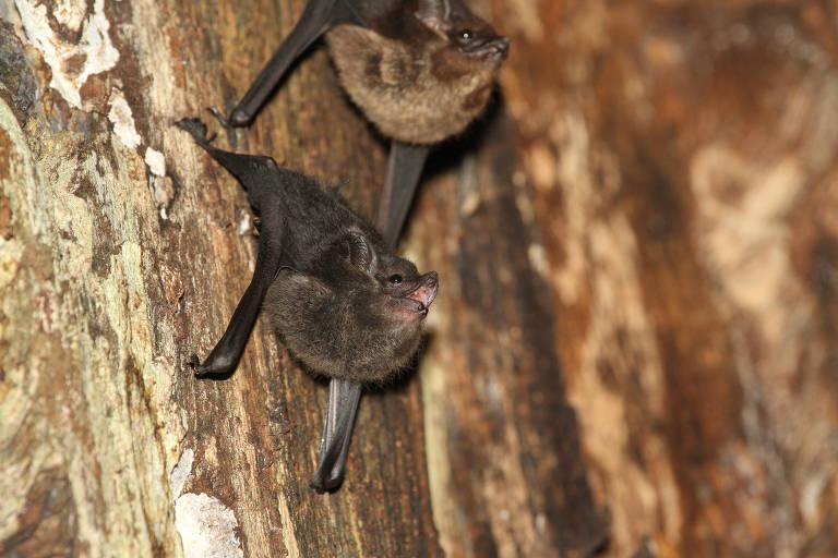 Filhotes de morcego passam meses aprendendo a 'falar' como os adultos