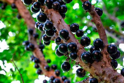 Jaboticaba - jaboticabeira - frutas selvagens brasileiras - Web Stories