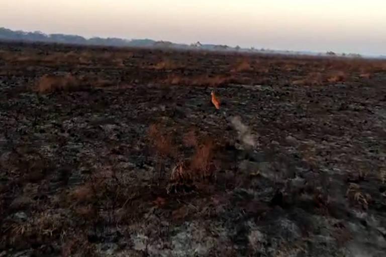 Servo corre em meio à mata queimada