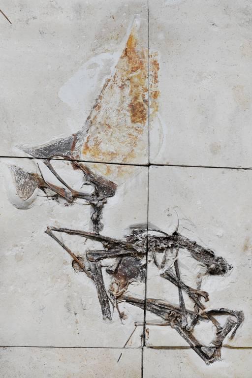 Fóssil de pterossauro brasileiro com preservação excepcional é descrito por cientistas brasileiros