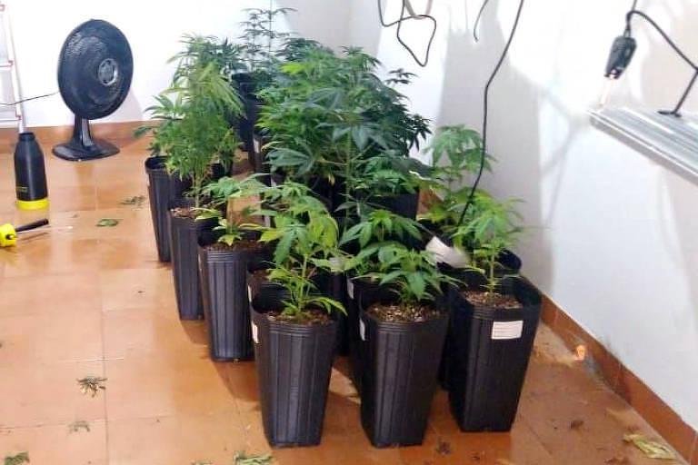 Um homem foi preso suspeito de cultivar 105 pés de maconha, em sua casa,  quinta-feira (26), em Jaguariúna (123 km de SP). Ao todo, as plantas totalizam sete quilos da droga