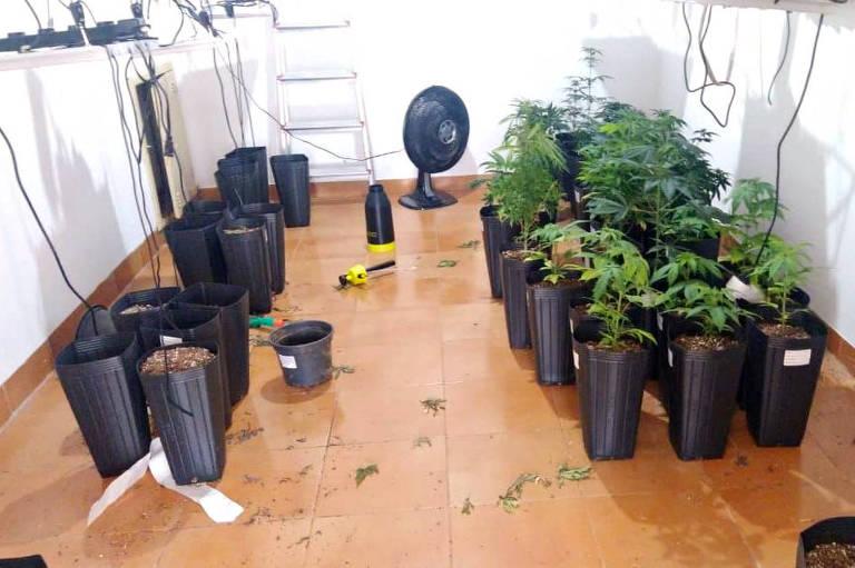 Polícia encontra plantação com mais de 100 pés de maconha em casa no interior de SP