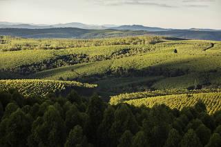 Plantacao de eucaliptos  (tambem alguns pinos) e preservacao de mata nativa da Klabin  proximo de torre de observacao
