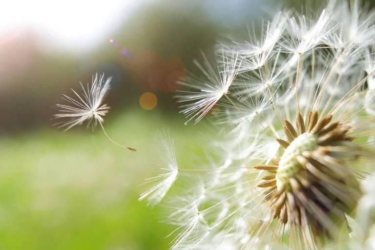 Imagem mostra pétalas de flor dente-de-leão voando