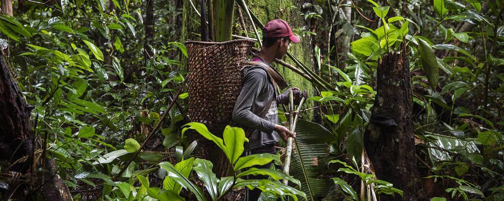 Coletor de castanha trabalha em reserva extrativista no Amazonas