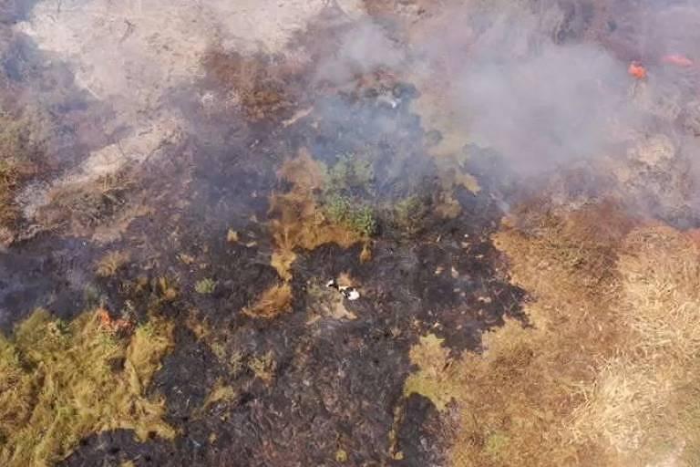 Área do Pantanal alvo de queimadas, neste mês de setembro, com vaca presa em meio à devastação; estudo aponta que 4,65 bilhões de animais podem ter sido afetados por queimadas e secas iniciadas no ano passado