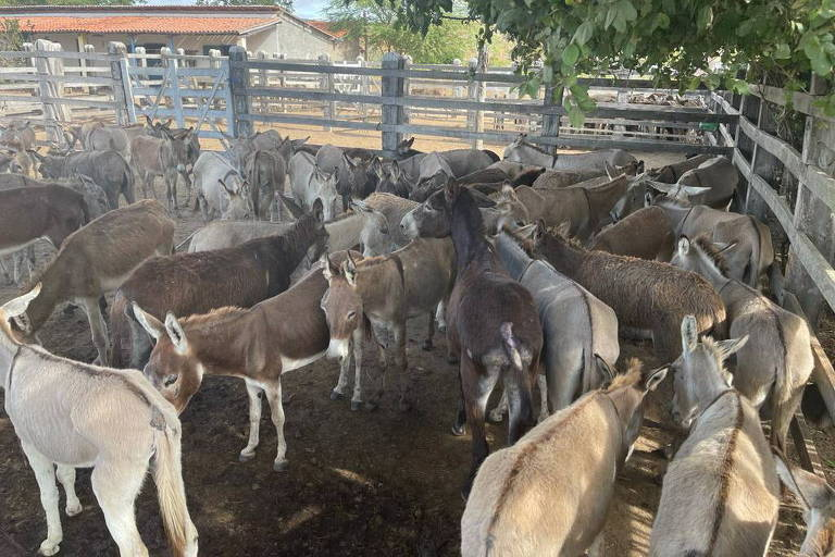Imagem mostra jumentos encontrados sob condições de maus-tratos em uma fazenda na Bahia, antes de serem enviado para o abate