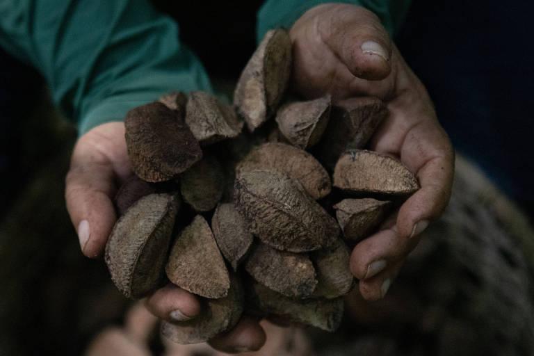 Extração de castanhas na Floresta Amazônica