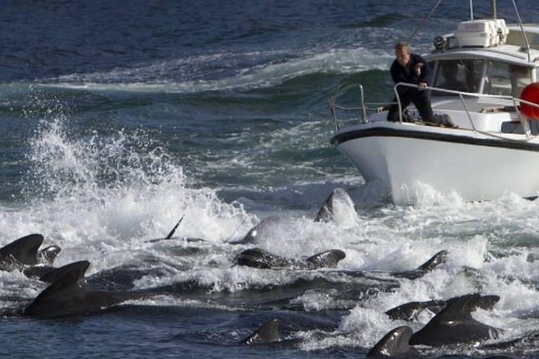 Em destaque, golfinhos nadam no mar. Ao fundo, há um barco e pessoas dentro deles observam os animais