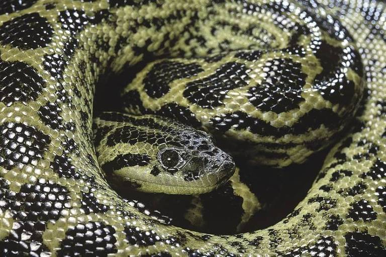 Imagem mostra uma cobra sucuri enrolada