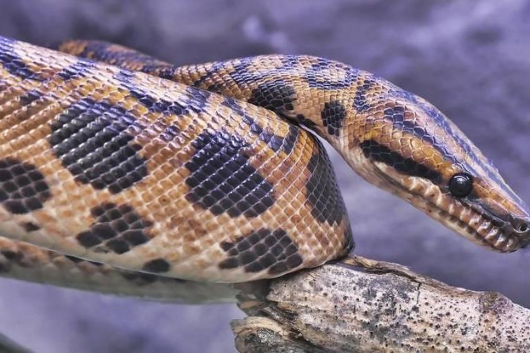 As cobras conseguiram se adaptar à vida em todos os continentes, com exceção da Antártida; na foto, uma jiboia-vermelha