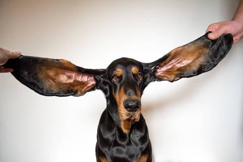O cachorro americano Lou, que tem as orelhas mais longas do mundo