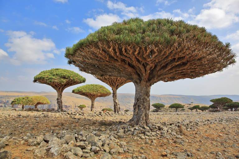 O Sangue de Dragão (Croton lechleri) é uma árvore de porte médio a grande e pode alcançar até 20 metros de altura