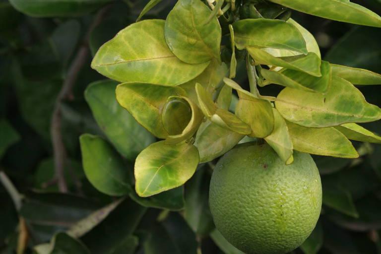 Imagem mostra laranjeira atingida pelo greening, doença que ameaça a citricultura em São Paulo