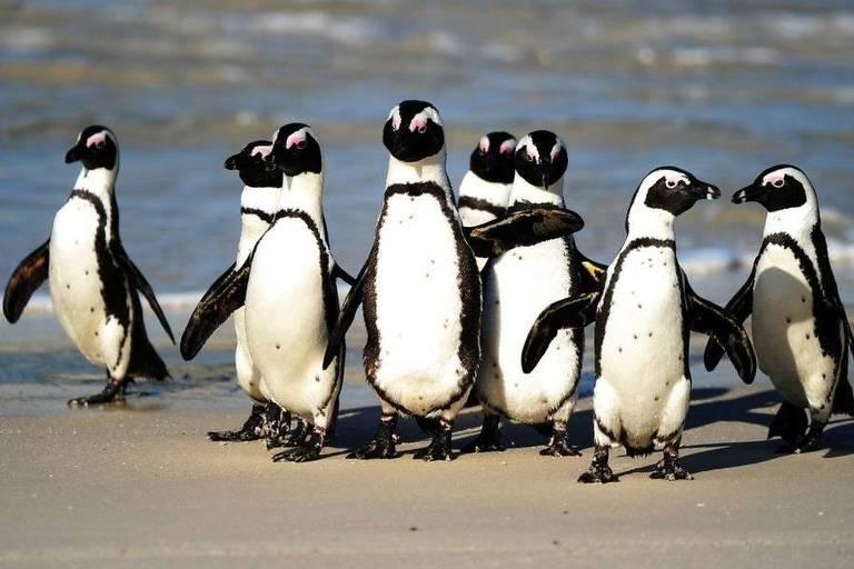 um grupo de pinguisn andam à beira a do mar