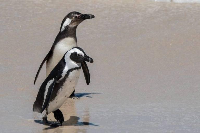 dois pinguins andam à beira do mar