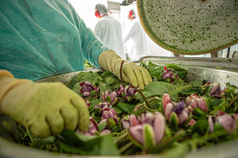 Passiflora fresca, um dos ingredientes do Ansiodoron, medicamento indicado para insônia causada por ansiedade