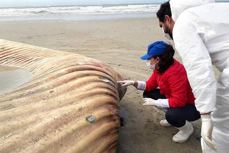 Pesquisadores observam corpo da baleia-fin encontrada na Ilha do Mel, no Paraná