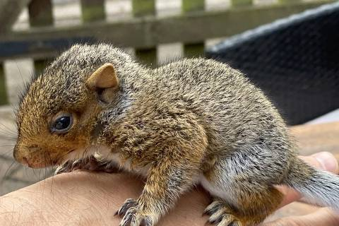 Bebê esquilo se apega a cuidador como pai