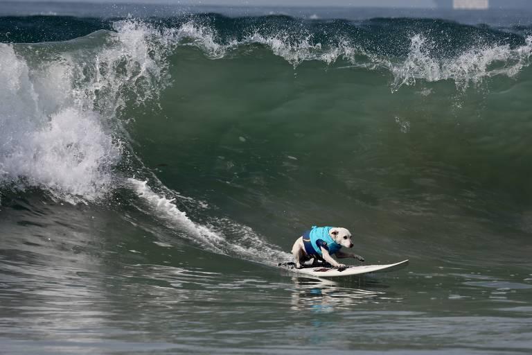 Cachorro surfa durante o Surf City Surf Dog em Huntington Beach, na Califórnia (EUA)