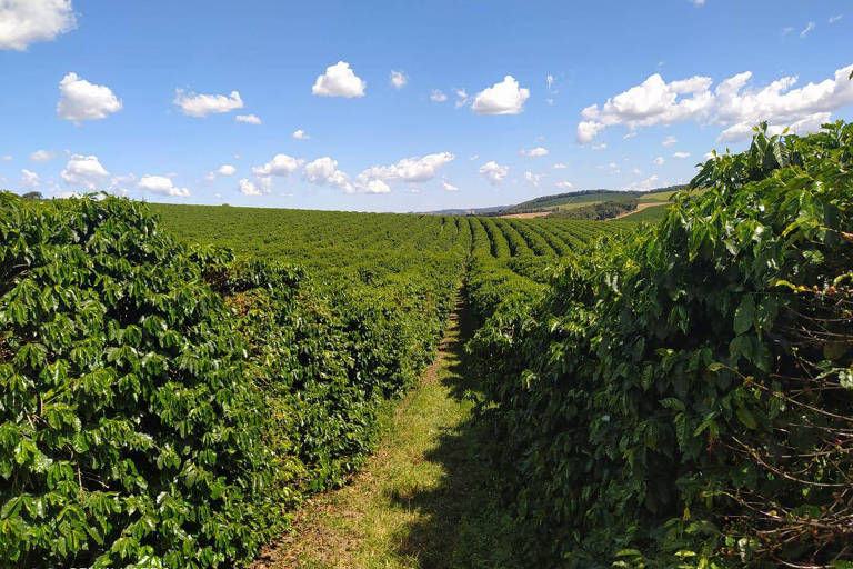 Minas Gerais deve ter a menor produção de café dos últimos 12 anos