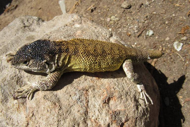 Cientistas descobrem nova espécie de lagarto em área protegida do Peru