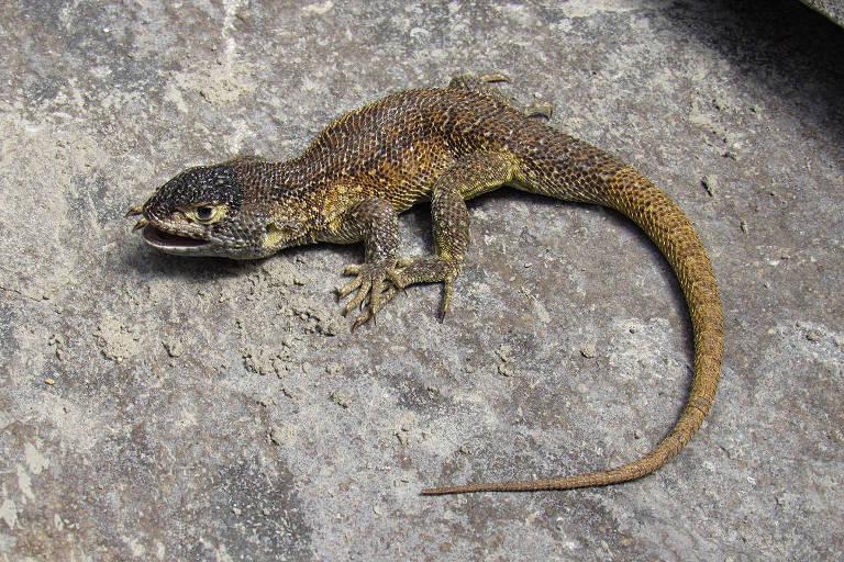 Cientistas descobrem nova espécie de lagarto em área protegida do Peru;  denominada Liolaemus warjantay, ela foi registrada perto da Cordilheira dos Andes, acima de 4.500 metros de altitude
